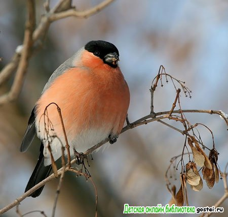 Фото иллюстрация к стихотворению Пушкина А.С. 'Птичка Божия не знает...'